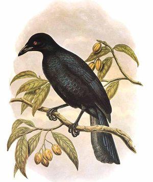 Paradisier noir