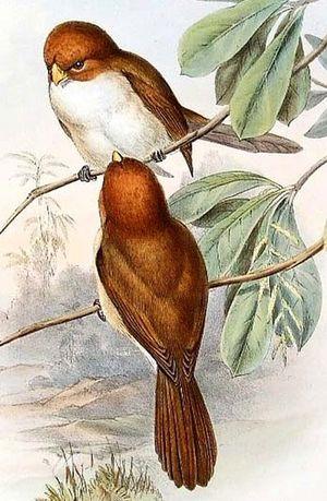 Paradoxornis à tête rousse