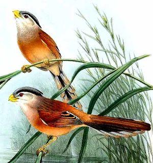 Paradoxornis du Yangtsé