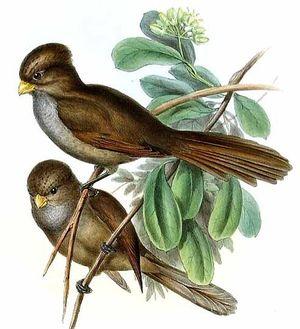 Paradoxornis unicolore