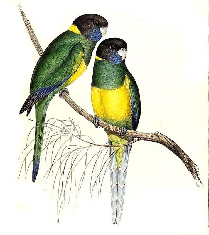 Perruche collier jaune ref jogo50861 for Oiseau jaune france