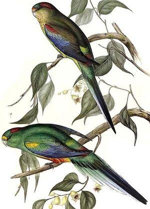 Perruche multicolore