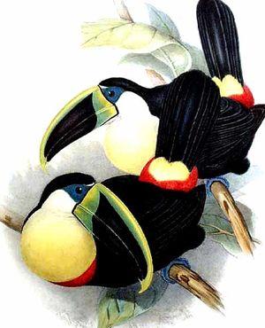 Toucan à gorge citron