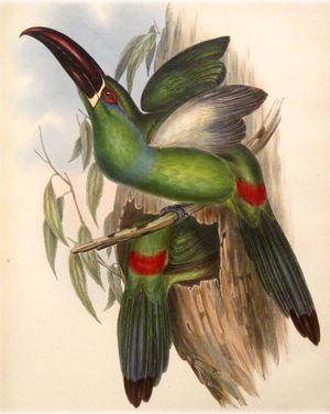 Toucanet à croupion rouge
