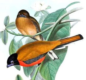 Trogon cannelle