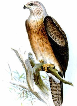 Aigle de Gurney