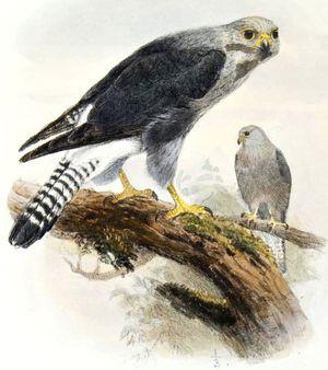 Faucon de Dickinson