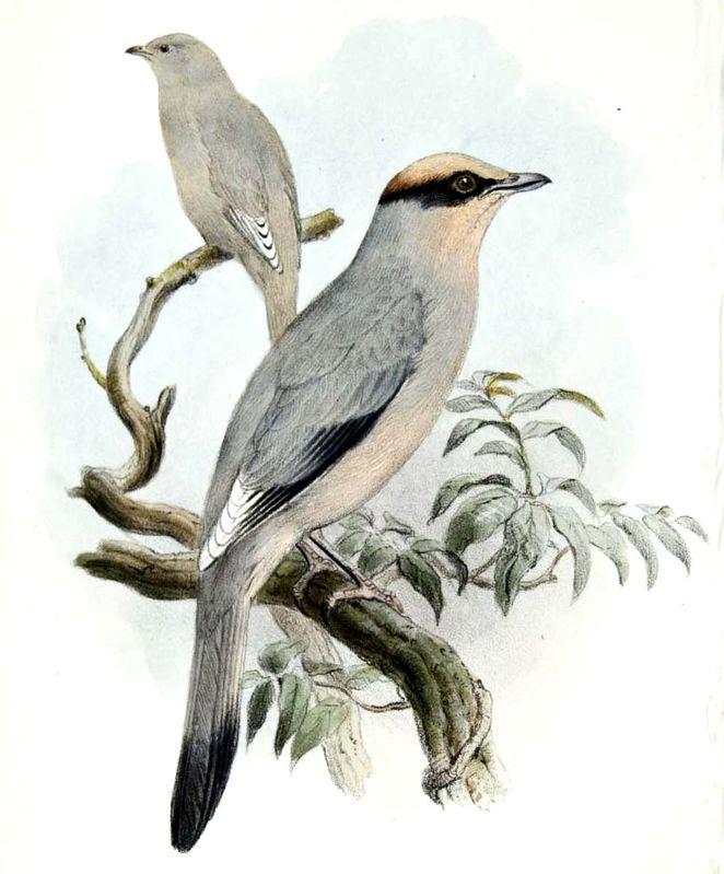 Grey Hypocolius - Hypocolius ampelinus