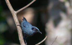 Moqueur bleu