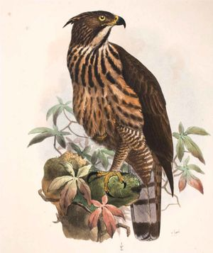 Aigle des Philippines