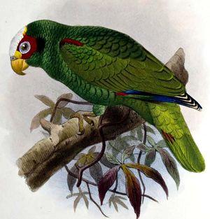 Amazone du Yucatan
