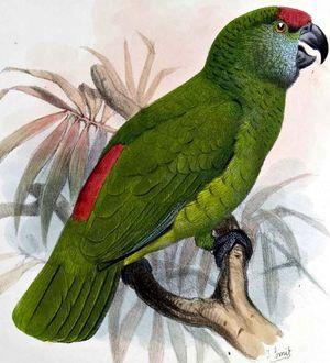 Amazone tavoua