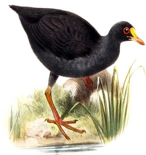 Gallinule punaé