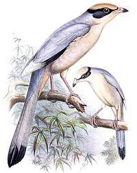 Hypocolius gris