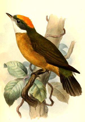 Manakin à bandeau orange