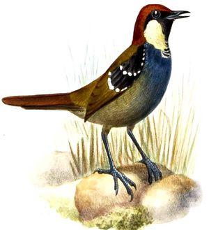 Ptilorrhoa tacheté