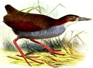 Râle à ailes rouges