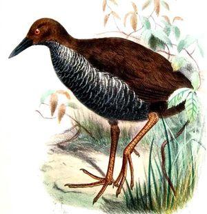 Râle de Nouvelle-Bretagne