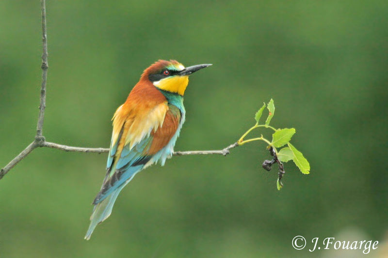 European bee eater size - photo#2