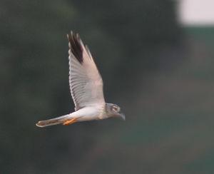 Busard pâle