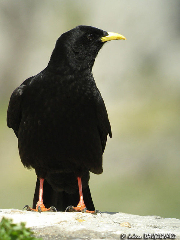 Chocard bec jaune ref juda52853 for Oiseau noir bec jaune