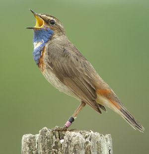 Bluethroat cyanecula pictures for Miroir blanc