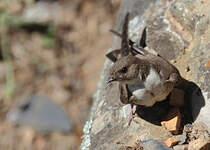 Hirondelle de rochers