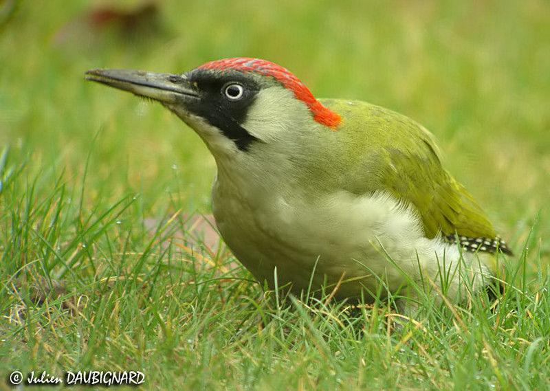 Pic vert femelle ref juda46862 for Oiseau vert et rouge