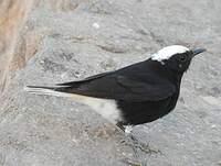 Traquet à tête blanche
