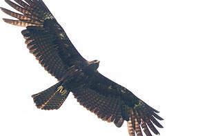 Aigle noir