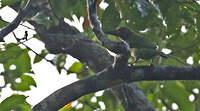 Barbu corbin