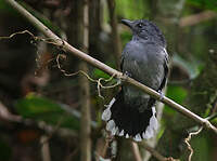 Batara d'Amazonie