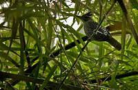 Batara des bambous