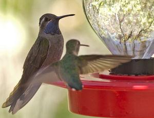 Colibri à gorge bleue
