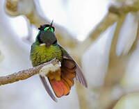 Colibri lumachelle