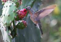 Colibri trompeur