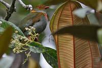 Cotinga cordon-rouge