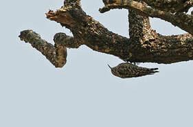 Grimpereau de Salvador