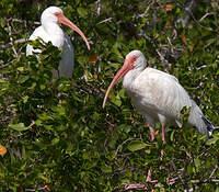 Ibis blanc