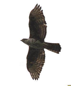 Aigle de Cassin