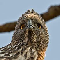 Aigle huppé