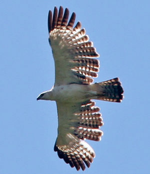 Aigle variable