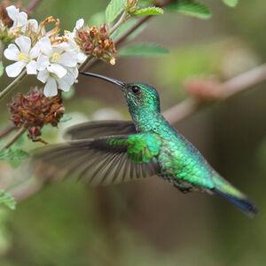 Colibri de Goudot