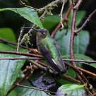 Colibri de Lafresnaye