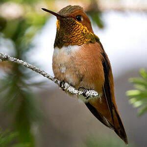 Colibri roux