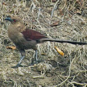 Coucal des Andaman