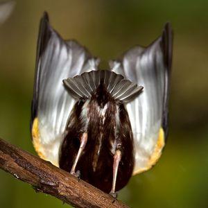 Manakin à ailes blanches
