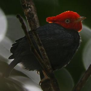 Manakin à cornes rouges