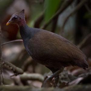 Mégapode de Nouvelle-Guinée