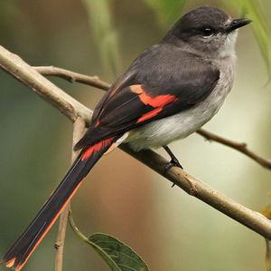 oiseau Martin 25 janvier trouvé par Ajonc Minivet.de.sumbawa.lape.2p
